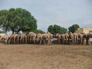Bikaner Kamelen Farm