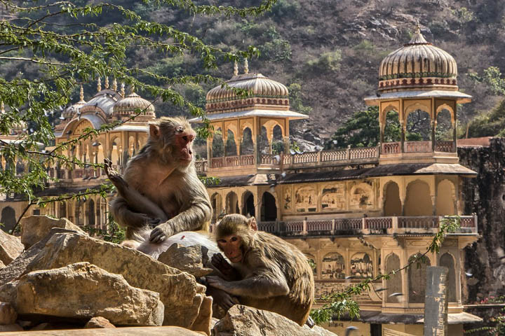 galtaghat monkey temple