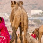 Pushkar Fair 2016 Rajasthan, India