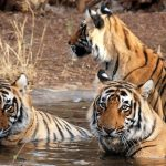 Tour Enjoy With Wildlife Sanctuaries and National Parks of Rajasthan