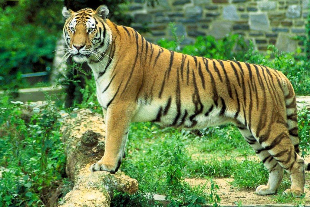 tigersariska