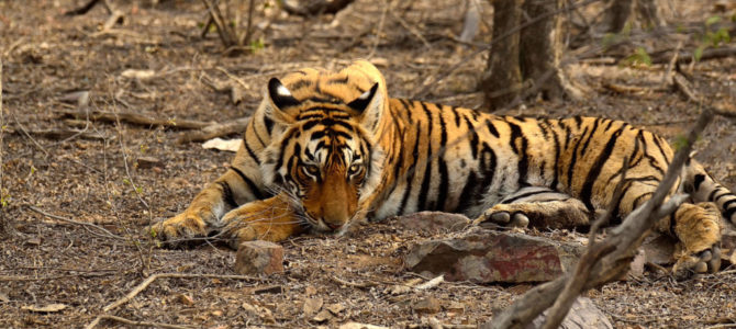 Discover the Magnificence of Natural Bounty by Ranthambore National Park