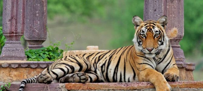 India's most-photographed tigress 'Machli' has died in Ranthambore National Park