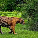 Tiger Travel in Ranthambore National Park