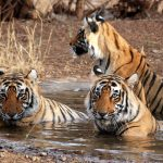 Visit Ranthambore National Park on your trip to Rajasthan